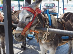 donkey taxis, the town ensures they are ethically treated